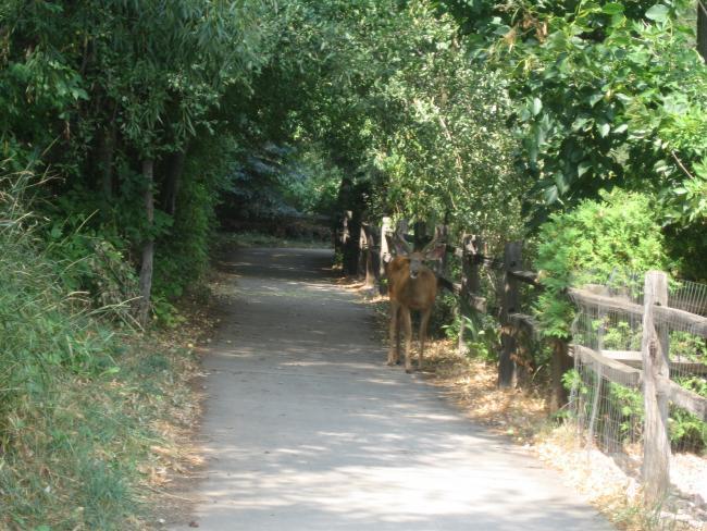 Mule Deer on the Bike Path