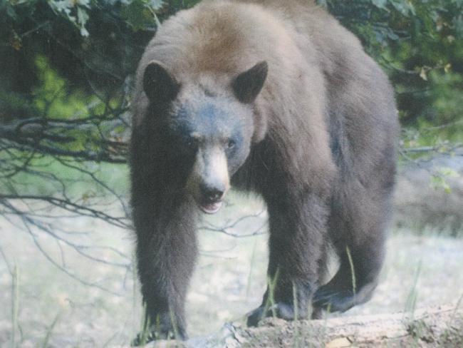 Bear at Madera Canyon